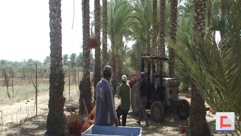 مزارعو النخيل في غزة .. انتاج وفير وحصار يمنع التسويق