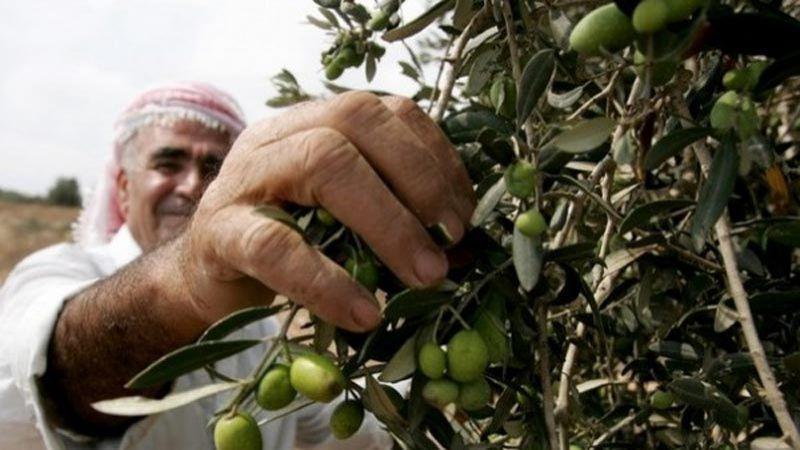 الاحتلال يمنع المزارعين الفلسطينيين من قطف ثمار الزيتون في كفر قدوم
