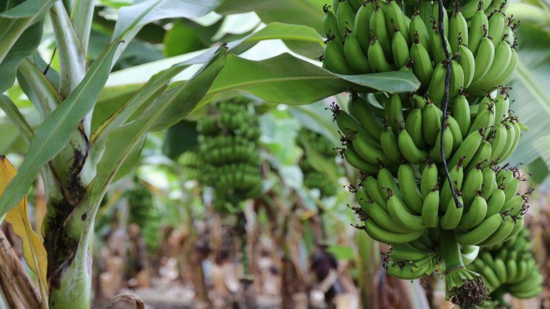 أزمة مزارعي الموز: خسائر فادحة ودولة لا مبالية