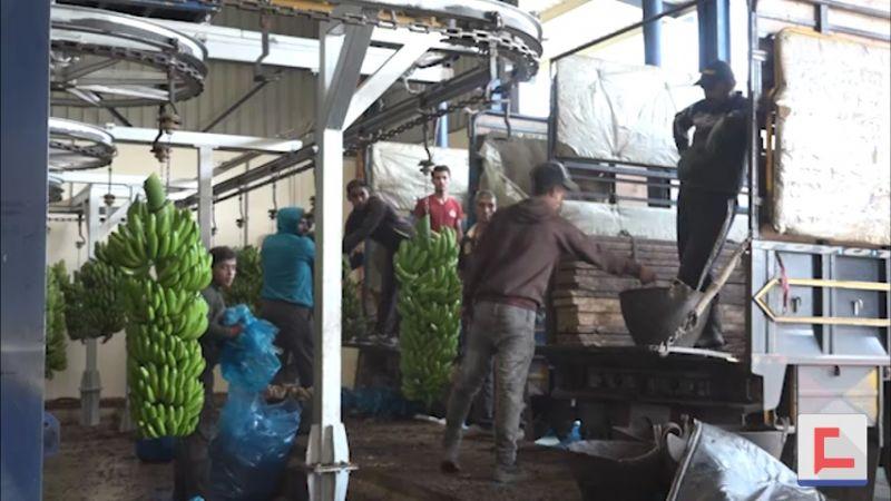 أولى شحنات الموز اللبناني تصل إلى سوريا: نهاية أزمة أرّقت المزارعين