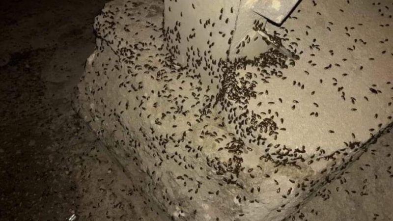 حشرات اجتاحت مناطق لبنانية .. تزعج السكان وتطمئن المزارعين