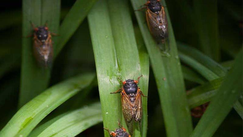 حشرات الزيز تستعدّ لغزو الولايات المتحدة