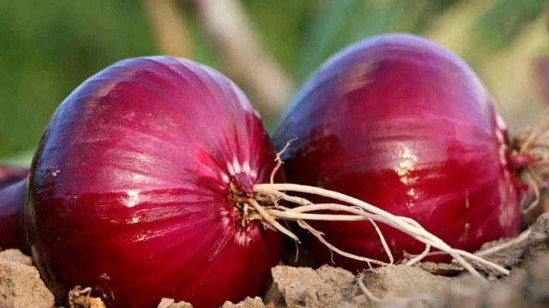 البصل الأحمر ينشر عدوى في 30 ولاية أمريكية