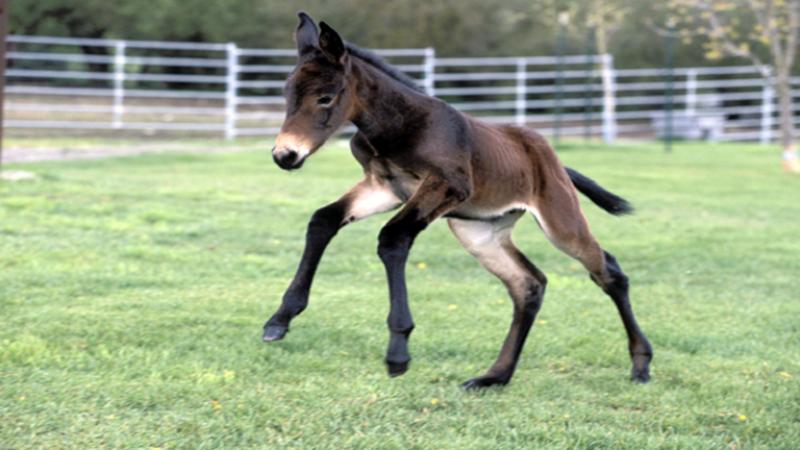 استنساخ حصان من مادة وراثية عمرها 40 عامًا