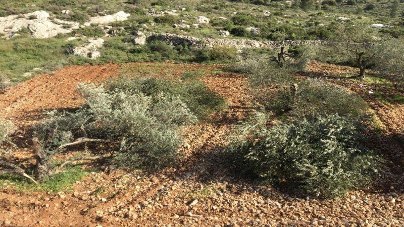 حربٌ اسرائيلية على زيتون فلسطين