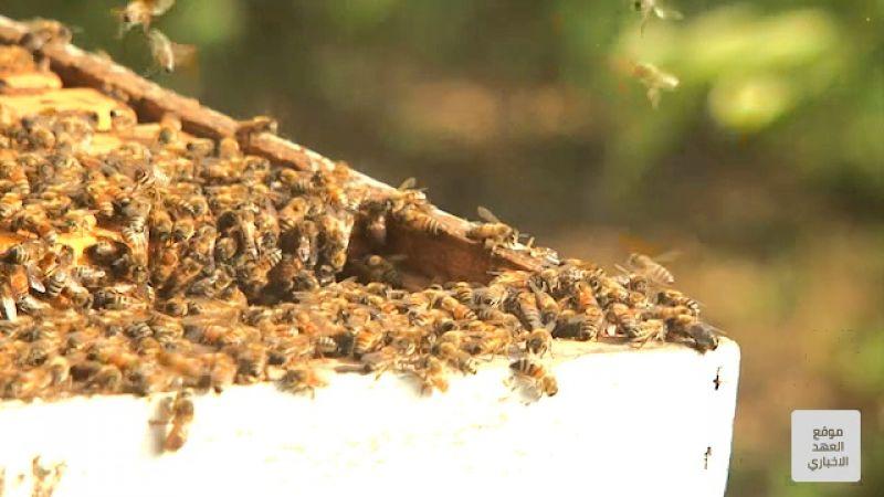 تربية النحل في مواجهة الاندثار.. غياب الدولة متواصل
