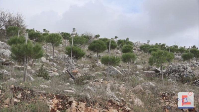 نحو لبنان الأخضر .. بلديّة زلاّيا تزرع ألف غرسة صنوبر