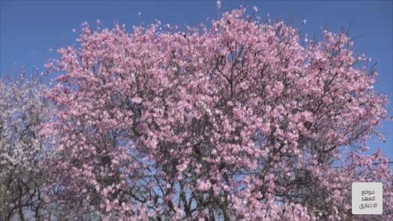أشجار اللوزيات تُزهر باكرًا في البقاع الغربي
