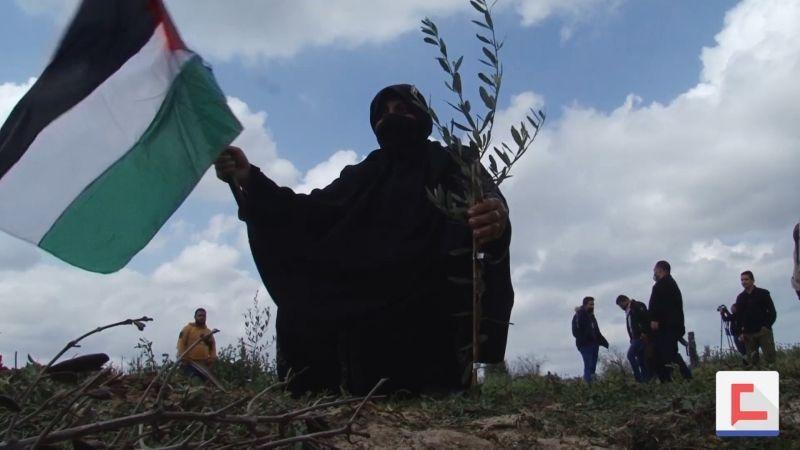 أشجار الزيتون في غزة.. رمزُ تمسك الفلسطينيين بأرضهم