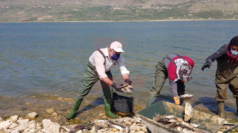 عملية رفع الأسماك النافقة من بحيرة القرعون تتواصل