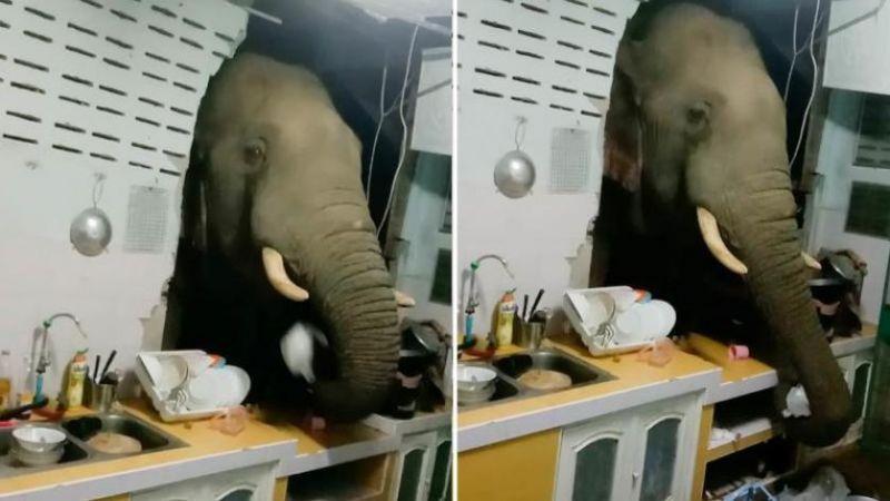 فيل جائع يقتحم منزلًا لتناول الأرز في تايلاند