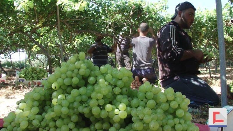 موسم العنب خسائر اقتصادية اضافية في غزة