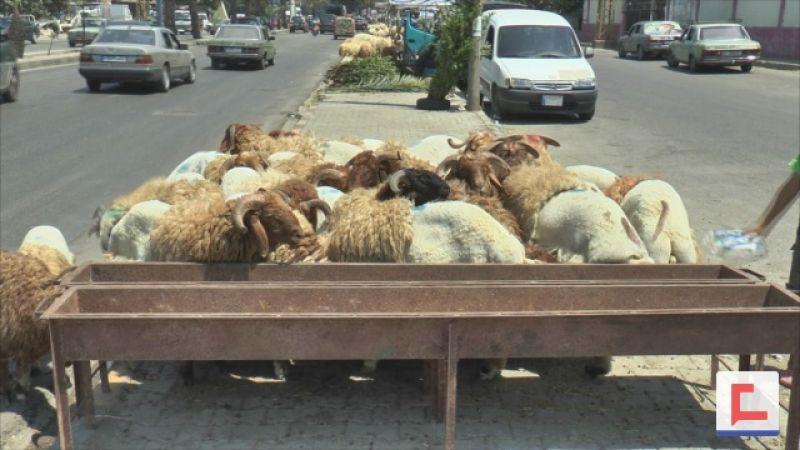 بالفيديو: اضاحي العيد تنتشر في شوارع طرابلس