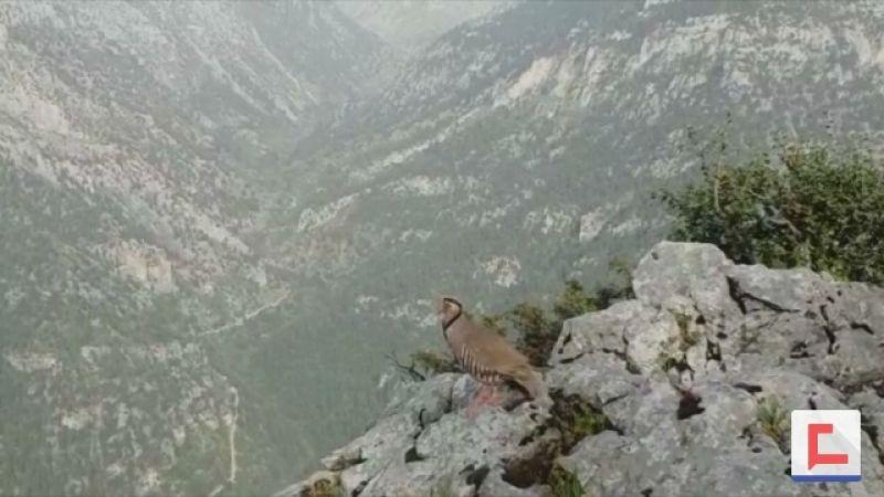 بالفيديو: الطائر المهدد في لبنان